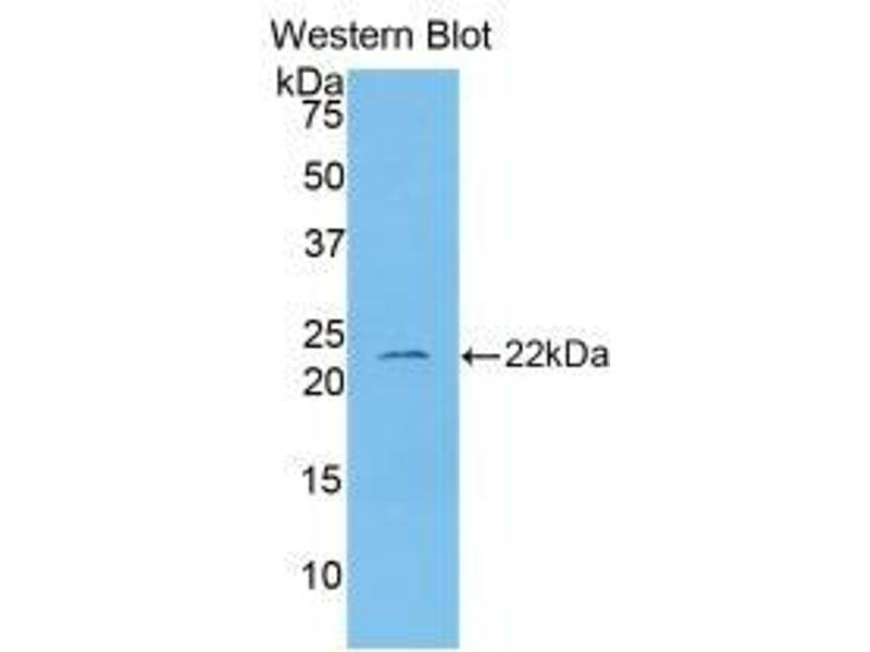 Western Blotting (WB) image for anti-Interleukin 1, beta (IL1B) (AA 117-268) antibody (ABIN2935272)