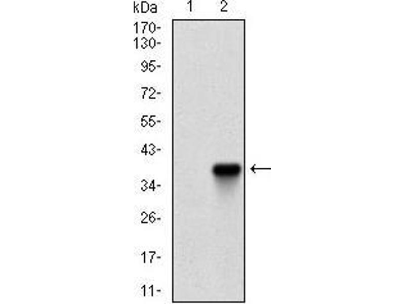 Western Blotting (WB) image for anti-Zinc Finger Protein 42 (ZFP42) (AA 249-310) antibody (ABIN1724852)