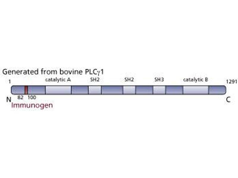 image for anti-Phospholipase C gamma 1 antibody (phospholipase C, gamma 1) (AA 82-100) (ABIN967699)