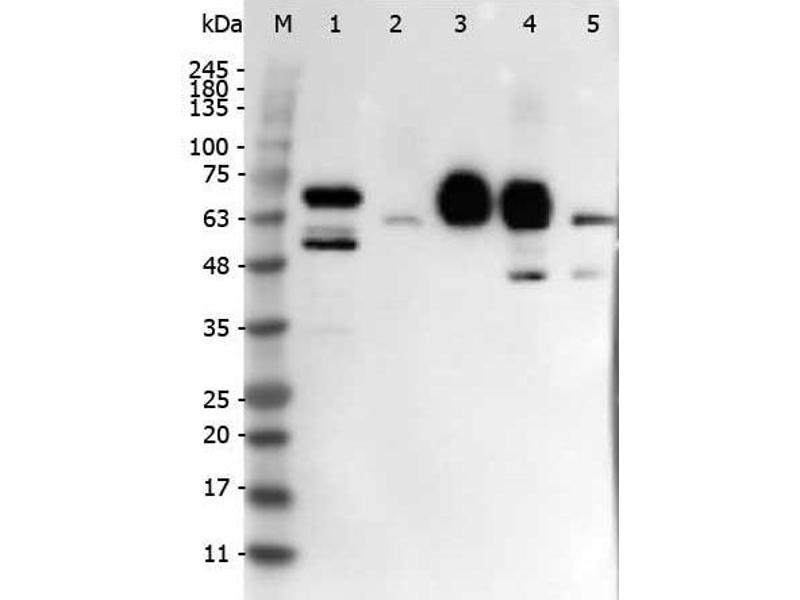 Western Blotting (WB) image for anti-delta-Like 4 (DLL4) (Internal Region) antibody (ABIN129625)