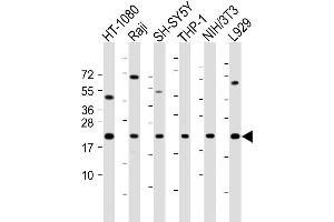 Western Blotting (WB) image for anti-BCL2-Associated X Protein (BAX) (AA 41-76), (BH3 Domain) antibody (ABIN388094)