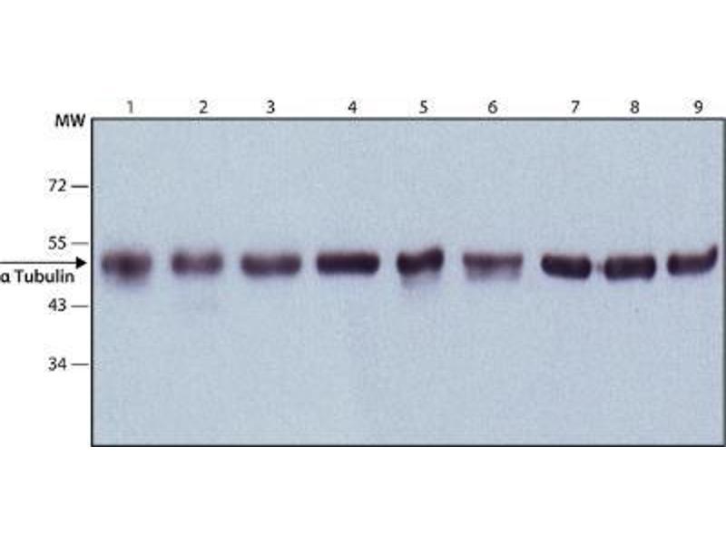 Western Blotting (WB) image for anti-alpha Tubulin (TUBA1) antibody (ABIN152113)