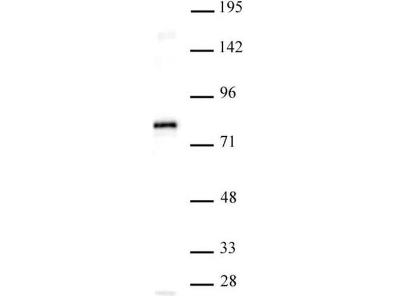 Western Blotting (WB) image for anti-TCF7L1 antibody (Transcription Factor 7-Like 1 (T-Cell Specific, HMG-Box)) (N-Term) (ABIN2668896)