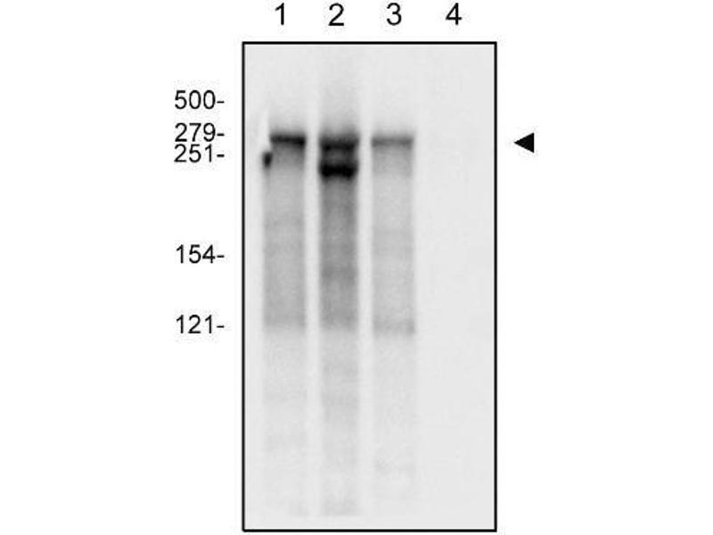 Western Blotting (WB) image for anti-Polymerase (RNA) II (DNA Directed) Polypeptide A, 220kDa (POLR2A) (C-Term), (Large Subunit) antibody (ABIN268311)