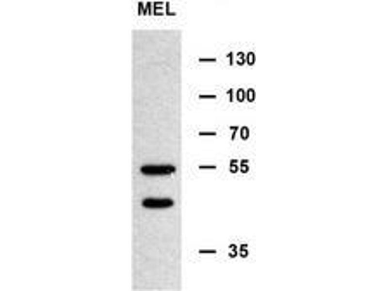 Western Blotting (WB) image for anti-MINPP1 antibody (Multiple Inositol-Polyphosphate Phosphatase 1) (AA 35-63) (ABIN953449)