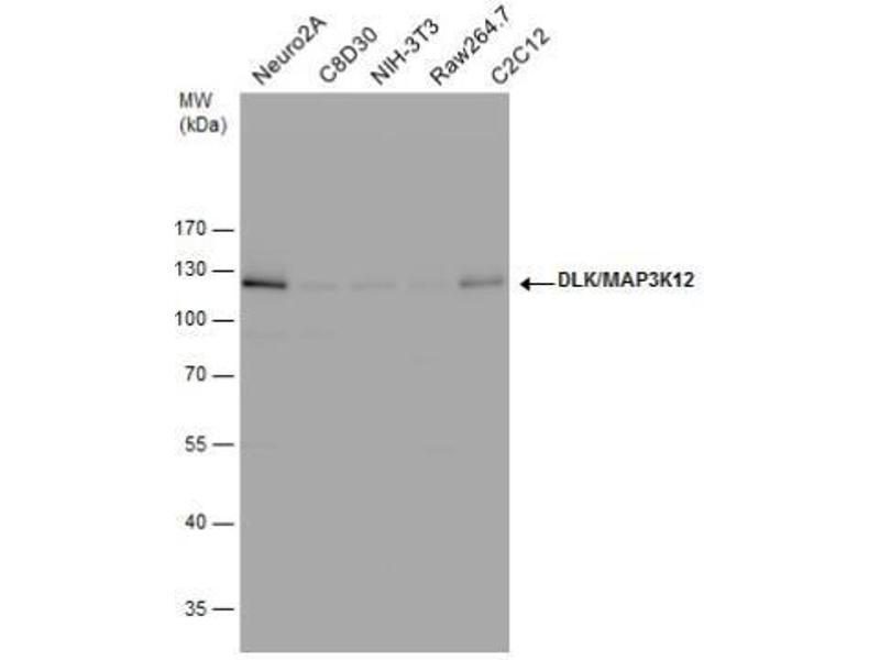Western Blotting (WB) image for anti-Mitogen-Activated Protein Kinase Kinase Kinase 12 (MAP3K12) (Center) antibody (ABIN4332644)