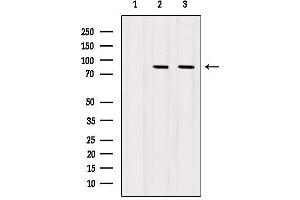 Image no. 4 for anti-Signal Transducer and Activator of Transcription 5A (STAT5A) antibody (ABIN6265321)