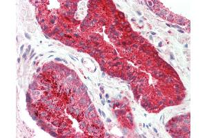 Image no. 2 for anti-Proximal Sequence Element 1 (SPDEF) (AA 182-231) antibody (ABIN6754879)
