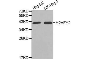 Image no. 1 for anti-H2A Histone Family, Member Y2 (H2AFY2) antibody (ABIN1875546)