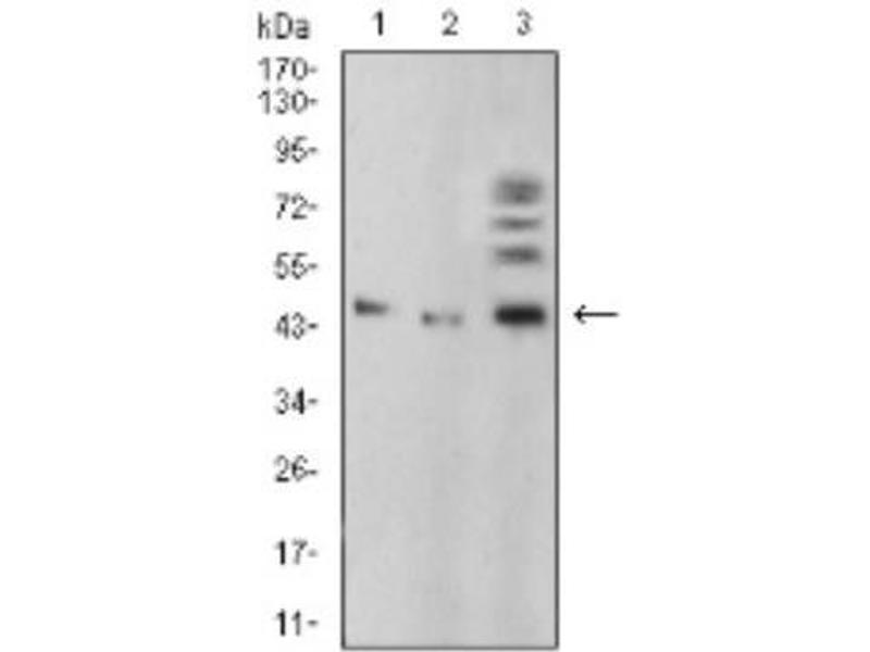 Western Blotting (WB) image for anti-Bone Morphogenetic Protein 4 (BMP4) antibody (ABIN4284902)