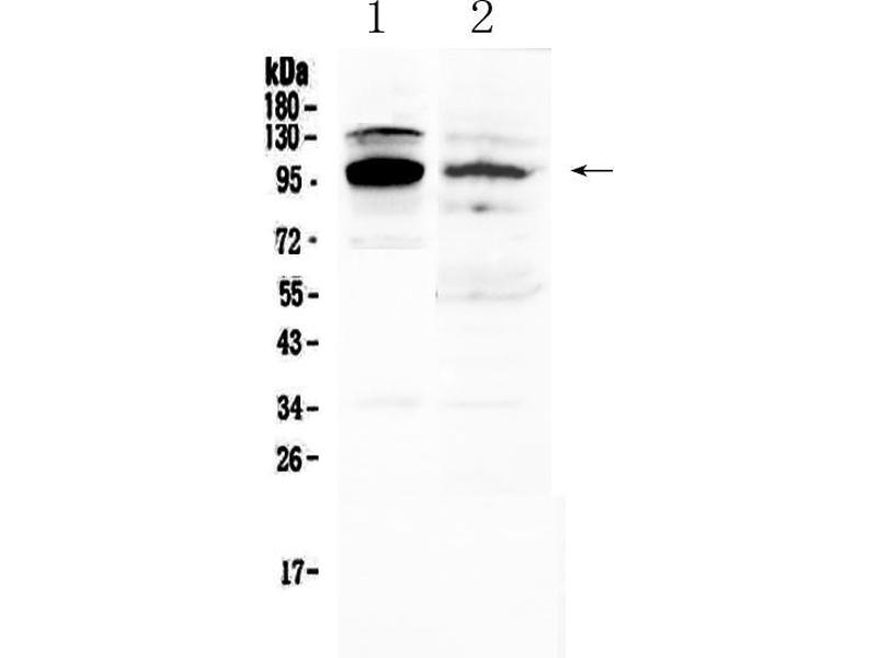 Western Blotting (WB) image for anti-Nuclear Factor of Activated T-Cells, Cytoplasmic, Calcineurin-Dependent 1 (NFATC1) (AA 589-652) antibody (ABIN5519043)