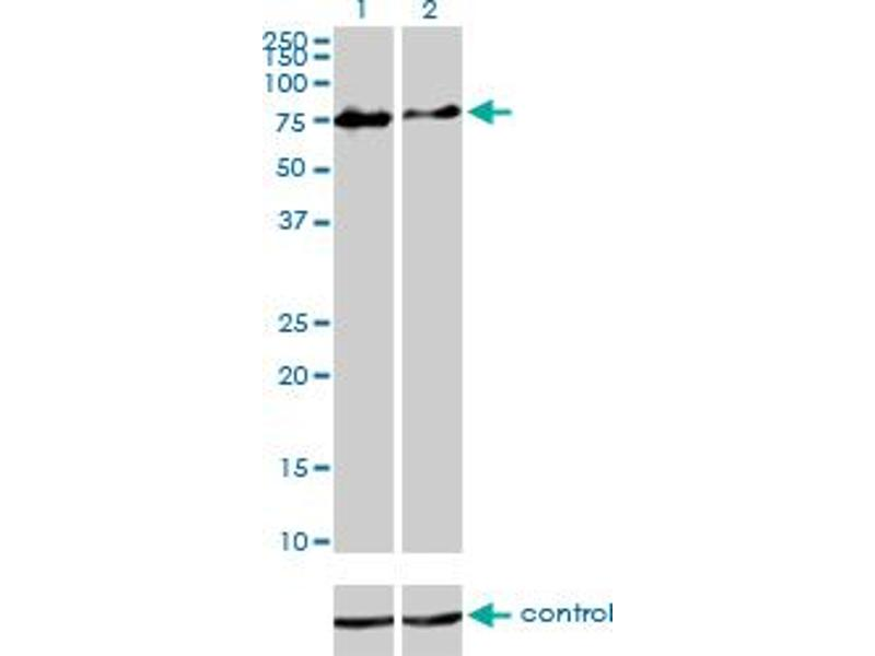 Western Blotting (WB) image for anti-Checkpoint with Forkhead and Ring Finger Domains, E3 Ubiquitin Protein Ligase (CHFR) (AA 1-652), (full length) antibody (ABIN565913)