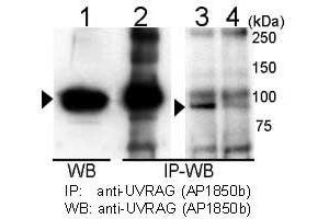 Western Blotting (WB) image for anti-UVRAG antibody (UV Radiation Resistance Associated Gene) (AA 666-699) (ABIN388586)