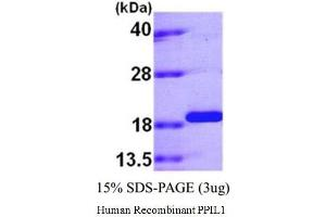 Image no. 1 for Peptidylprolyl Isomerase (Cyclophilin)-Like 1 (PPIL1) (Active) protein (ABIN1304480)