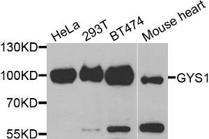 Western Blotting (WB) image for anti-Glycogen Synthase 1 (Muscle) (GYS1) antibody (ABIN6569248)