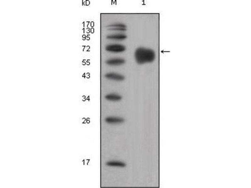 Western Blotting (WB) image for anti-Fibroblast Growth Factor Receptor 4 (FGFR4) (Extracellular) antibody (ABIN1843605)