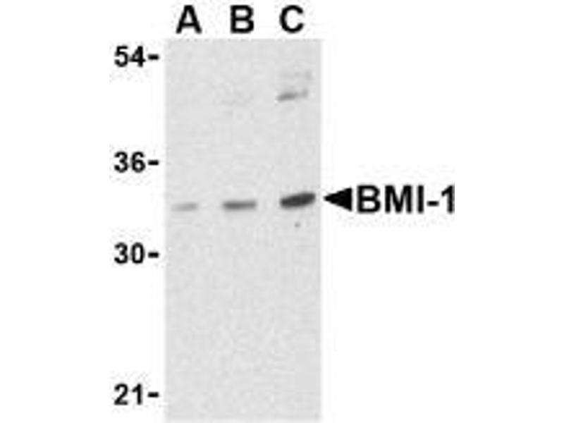 Western Blotting (WB) image for anti-BMI1 antibody (BMI1 Polycomb Ring Finger Oncogene) (Intermediate Domain) (ABIN499483)