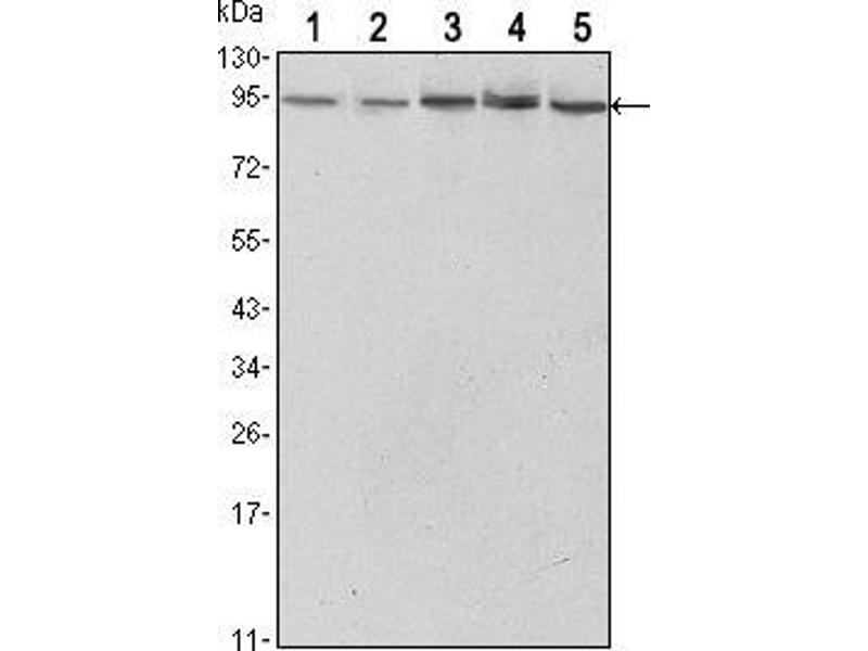 Western Blotting (WB) image for anti-Signal Transducer and Activator of Transcription 3 (Acute-Phase Response Factor) (STAT3) antibody (ABIN969421)