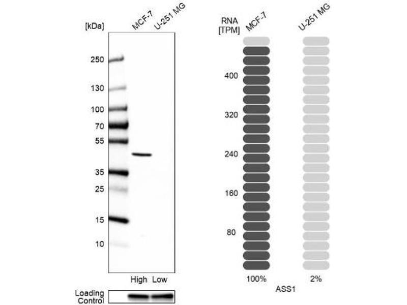 Western Blotting (WB) image for anti-Argininosuccinate Synthase 1 (ASS1) antibody (ABIN4281472)