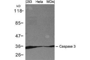 Western blot analysis of extracts from 293, Hela and MDA cells using Caspase 3.