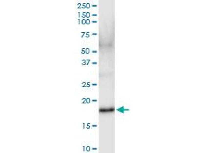 Immunoprecipitation (IP) image for anti-IFNA17 Antikörper (Interferon, alpha 17) (AA 1-189) (ABIN516908)
