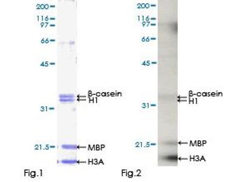Kinase Activity Assay (KAA) image for CDC-Like Kinase 2 (CLK2) (AA 1-498), (full length) protein (GST tag) (ABIN1349704)