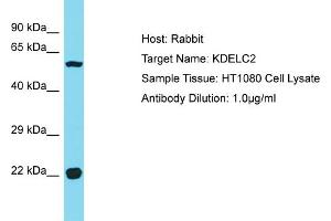 Image no. 1 for anti-KDEL (Lys-Asp-Glu-Leu) Containing 2 (KDELC2) (C-Term) antibody (ABIN2774553)