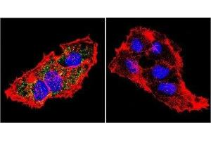 Immunofluorescence (IF) image for anti-Prolactin Receptor antibody (PRLR) (ABIN152720)