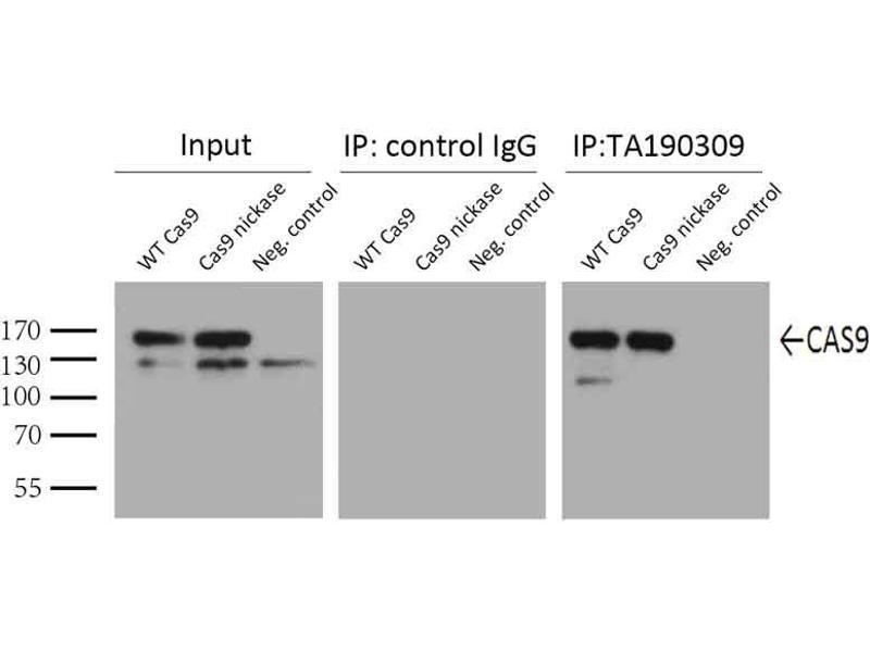 Immunoprecipitation (IP) image for anti-CRISPR-Cas9 (AA 1150-1200) antibody (ABIN2670026)