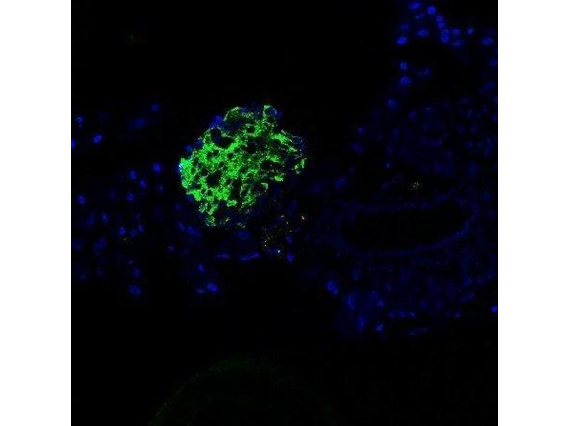 Immunofluorescence (Paraffin-embedded Sections) (IF (p)) image for anti-Insulin antibody (INS) (AA 45-95) (ABIN724265)