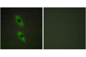 Immunofluorescence (IF) image for anti-FADD antibody (Fas (TNFRSF6)-Associated Via Death Domain) (ABIN1534444)