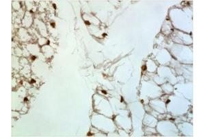 Immunohistochemistry (Paraffin-embedded Sections) (IHC (p)) image for anti-Platelet Factor 4 (PF4) antibody (ABIN4265398)