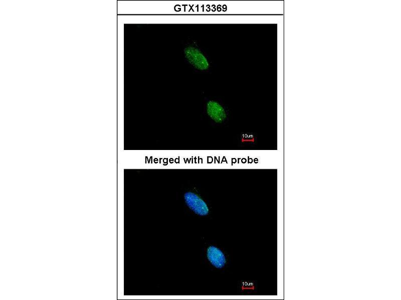 Indirect Immunofluorescence Assay (IFA) image for anti-Killer Cell Immunoglobulin Receptor, Three Domains, Long Cytoplasmic Tail, 2 (LOC727787) (AA 271-333) antibody (ABIN556402)