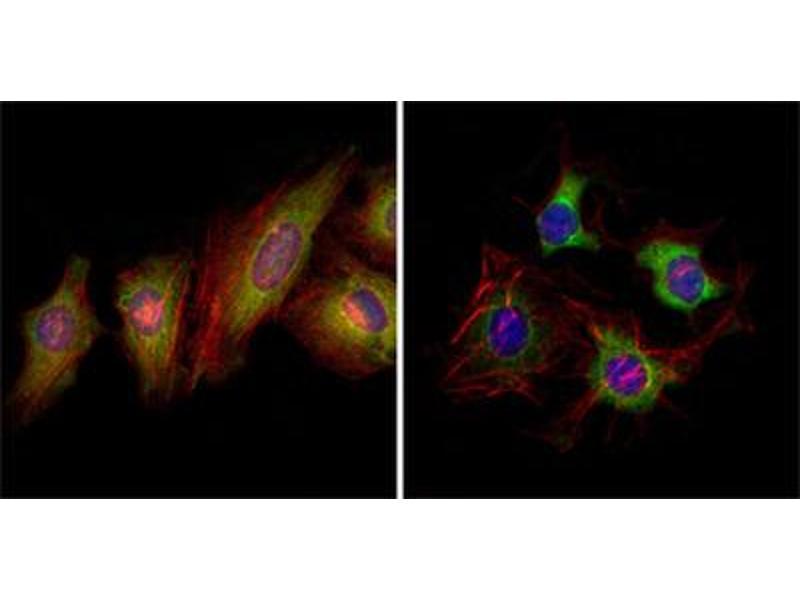 Immunofluorescence (IF) image for anti-EPH Receptor B2 (EPHB2) (AA 17-200) antibody (ABIN1843505)