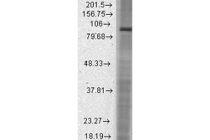 Image no. 2 for anti-Hyperpolarization Activated Cyclic Nucleotide-Gated Potassium Channel 2 (HCN2) (C-Term) antibody (ABIN6658118)