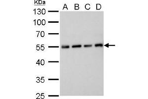 Image no. 1 for anti-alpha Tubulin (TUBA1) (Center) antibody (ABIN2855283)