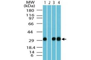 Image no. 3 for anti-Family with Sequence Similarity 3, Member C (FAM3C) antibody (ABIN537468)