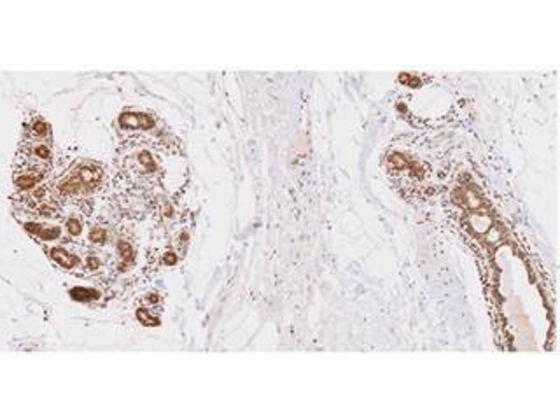 Immunohistochemistry (IHC) image for anti-Ubiquitin-Conjugating Enzyme E2L 6 (UBE2L6) (AA 1-152), (N-Term) antibody (ABIN317574)