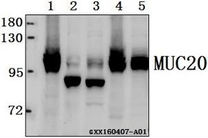 Image no. 1 for anti-Mucin 20, Cell Surface Associated (MUC20) antibody (ABIN6719244)