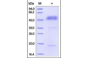 Image no. 1 for B and T Lymphocyte Associated (BTLA) (AA 31-134) (Active) protein (Fc Tag) (ABIN2180655)