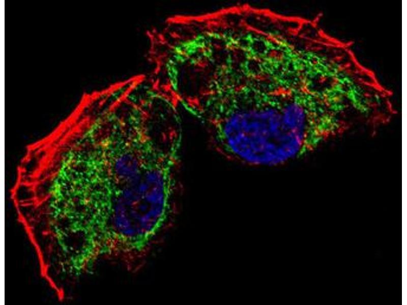 Immunofluorescence (IF) image for anti-Transcription Factor A, Mitochondrial (TFAM) antibody (ABIN2995591)