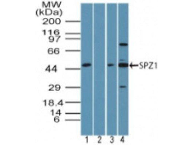 Western Blotting (WB) image for anti-SPZ1 antibody (Spermatogenic Leucine Zipper 1) (ABIN4355784)