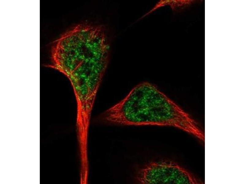 Immunofluorescence (IF) image for anti-RNA Binding Motif Protein 27 (RBM27) antibody (ABIN4349604)