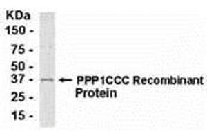 Image no. 1 for anti-Protein Phosphatase 1, Catalytic Subunit, gamma Isoform (PPP1CC) (AA 1-323) antibody (ABIN2467908)