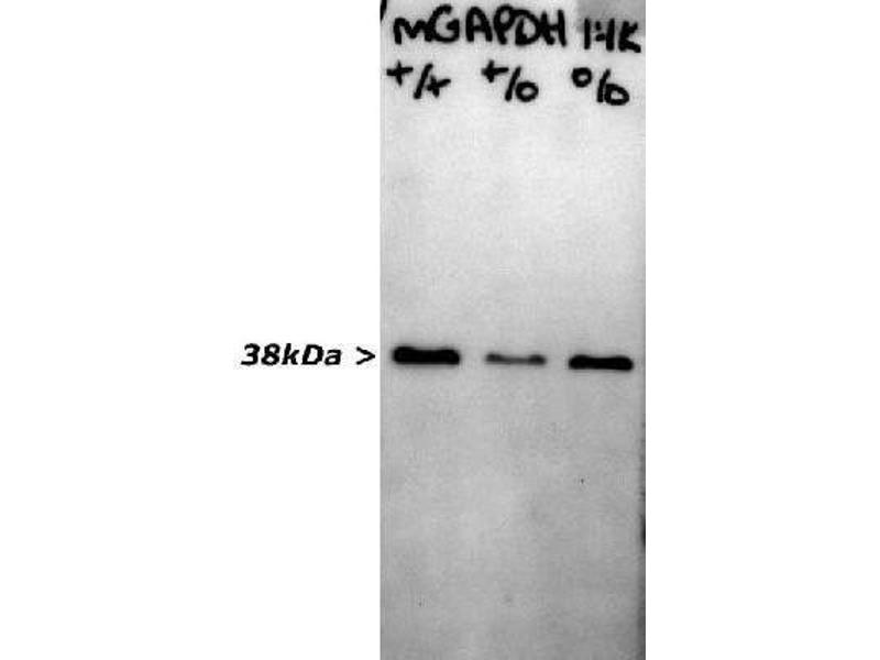 Western Blotting (WB) image for anti-Glyceraldehyde-3-Phosphate Dehydrogenase (GAPDH) antibody (ABIN268426)