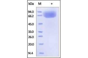 Image no. 1 for CD80 (CD80) (AA 35-242) (Active) protein (Fc Tag) (ABIN2180845)