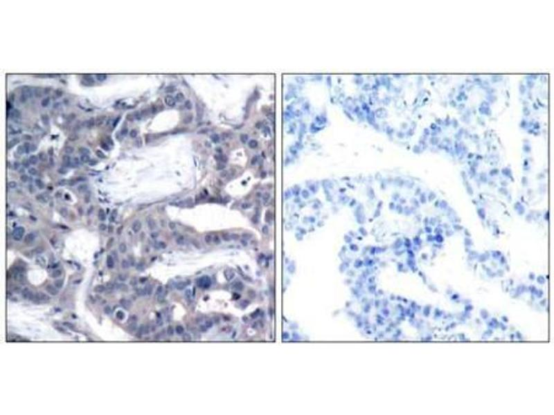 image for anti-MAP2K2 antibody (Mitogen-Activated Protein Kinase Kinase 2) (pThr394) (ABIN196623)