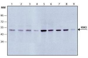 Western Blotting (WB) image for anti-HDAC3 antibody (Histone Deacetylase 3) (ABIN152952)
