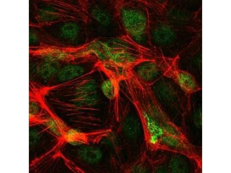 Immunofluorescence (IF) image for anti-C-JUN antibody (Jun Proto-Oncogene) (ABIN1105389)