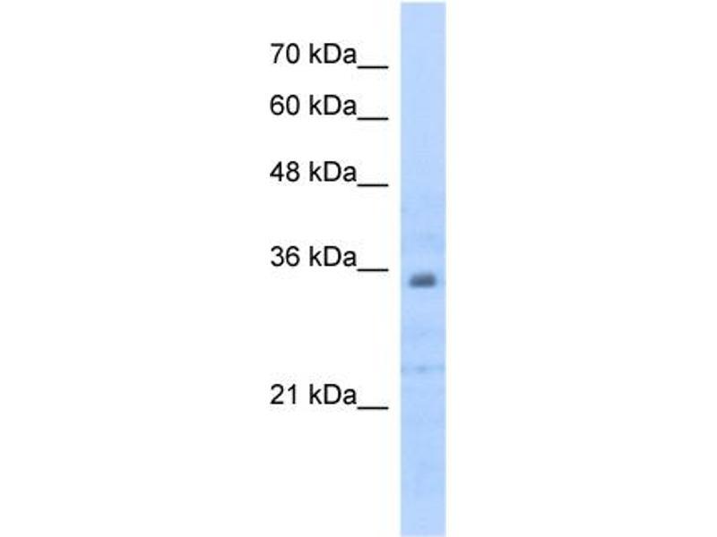 Western Blotting (WB) image for anti-Prohibitin 2 (PHB2) (C-Term) antibody (ABIN2783329)